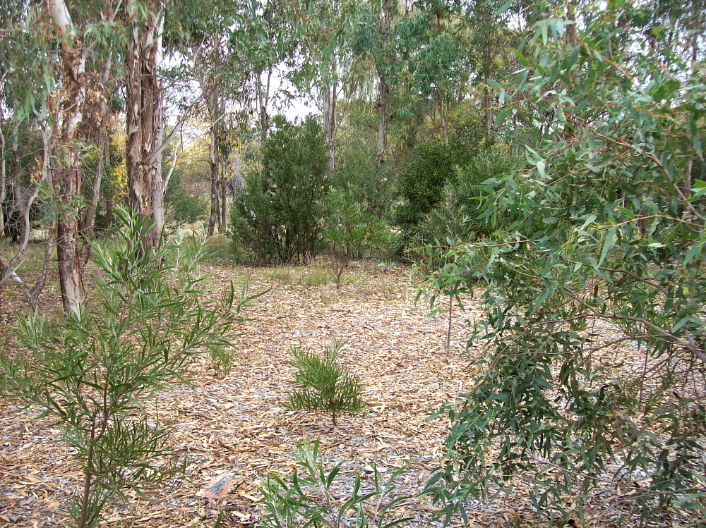 Space between trees and shrubs with fallen gum leaves on the ground and live leaves in the foreground.